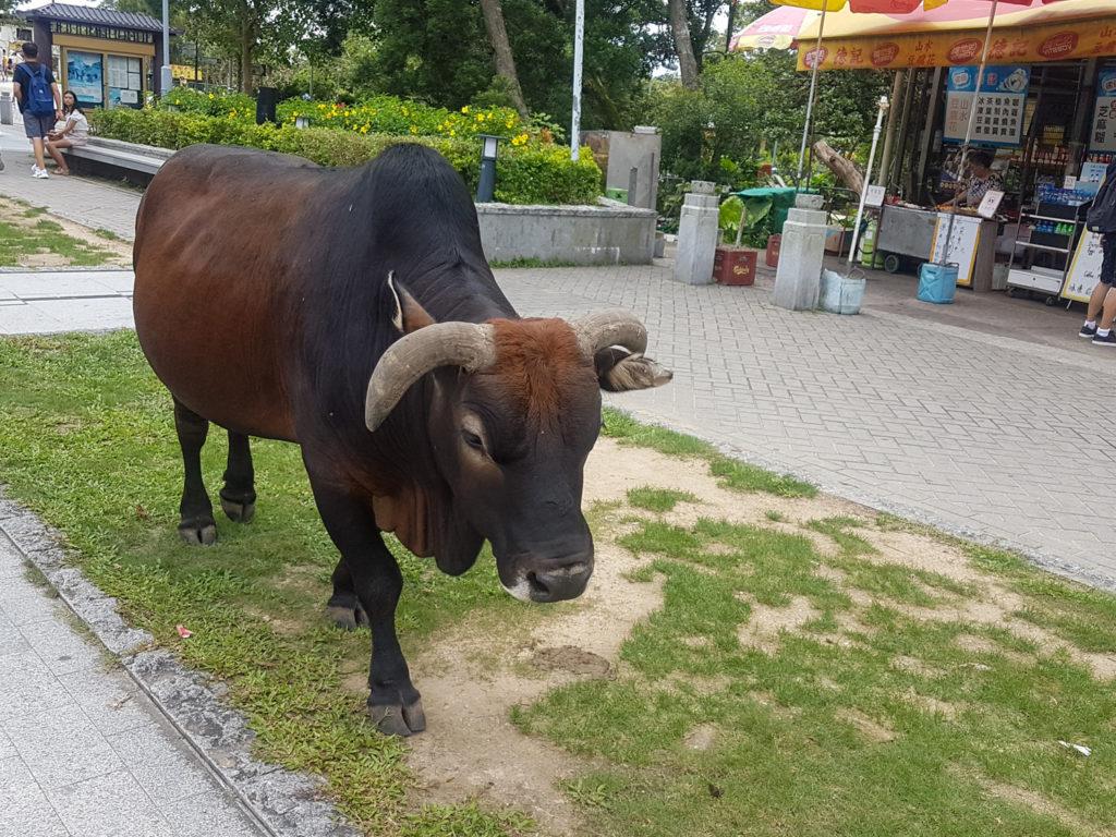 Buffalo at Big Buddha