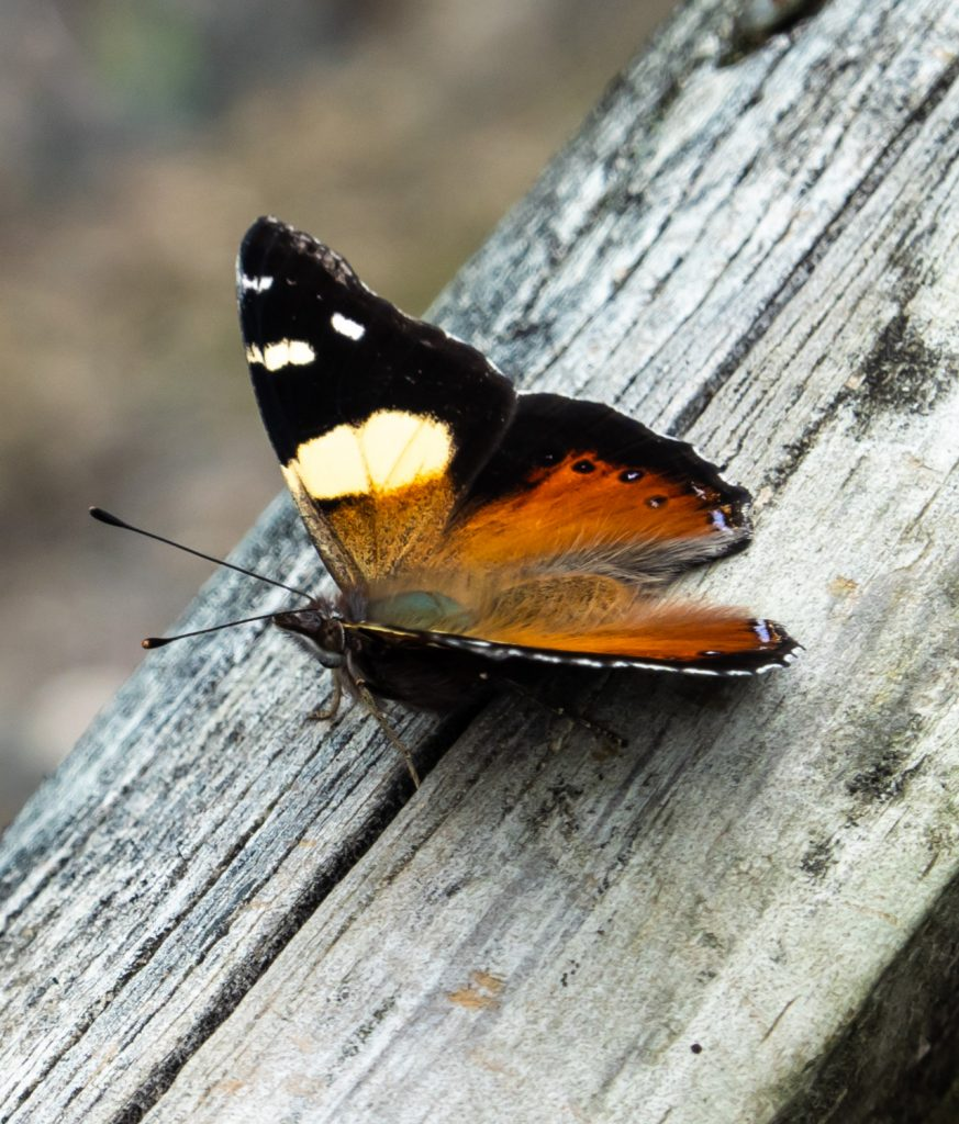 Butterfly, Waimangu Volcanic Valley